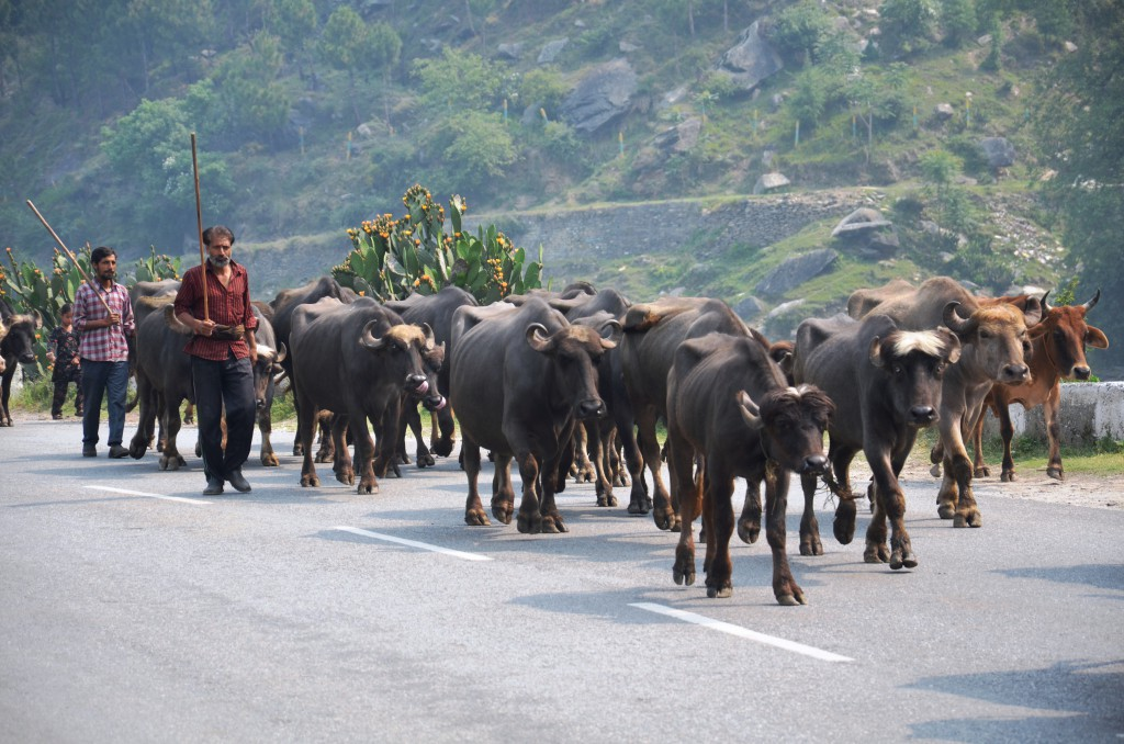 Gujjar pastoralists on the move