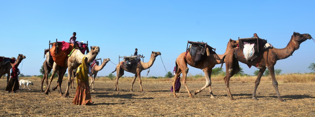 Sheep pastoralists depend on camels