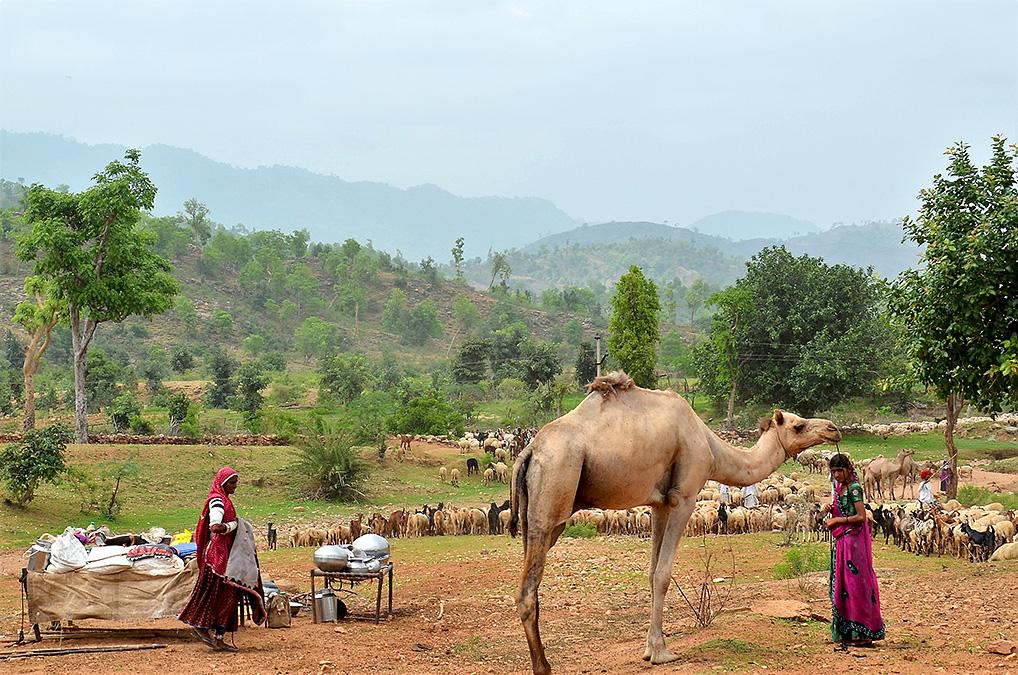 Raika-shepherd-women-on-migration