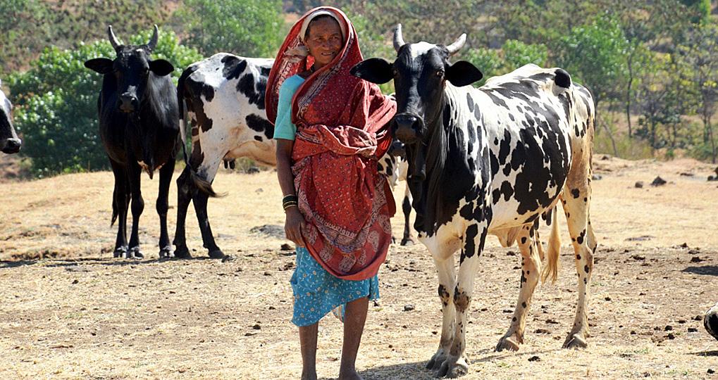 Dangi-cattle-comp
