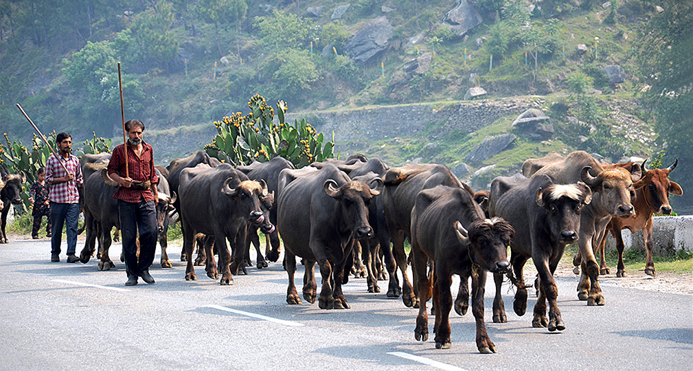 Gujjar-pastoralists-on-the-move